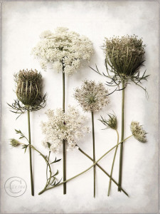 Beneth Northern Skies - Queen Anne's Lace